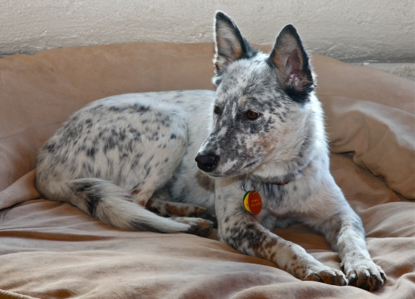 Little Queensland Heeler mix adopted from the Albuquerque Animal Shelter, November 14, 2010.